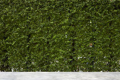 Vertical garden green leaves wall Stock Image