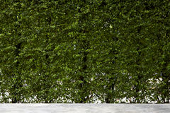 Vertical garden green leaves wall Royalty Free Stock Photography