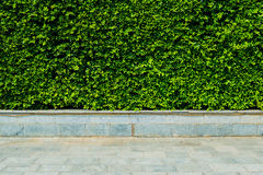 Vertical garden green leaves wall or tree fence behide the road Royalty Free Stock Image