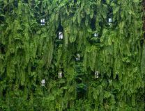 Vertical garden lush green wall pattern surface texture. Close-up of exterior natural material for design decoration background stock photo