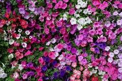 Vertical garden nature backdrop, colorful petunia flowering plan stock photos