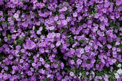 Vertical garden nature backdrop, purple petunia flowering plant stock photo