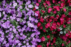 Vertical garden nature backdrop, red and purple petunias floweri royalty free stock image