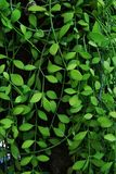 Vertical garden with tropical green ivy, contrast.  royalty free stock photography