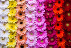 Vertical gerbera flower rainbow background Stock Photo