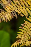 Vertical golden dried ferns in late august contrast against green of garden. Golden dried ferns in late august contrast against green of garden on afternoon day royalty free stock photo