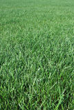 Vertical Grass Field. Texture of green grass field Stock Photos