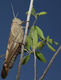 Vertical Grasshopper Royalty Free Stock Photos
