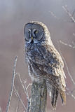 Vertical of Great Gray Owl, Strix nebulosa Stock Photo