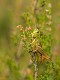 Vertical of green grasshopper on heather in bloom Royalty Free Stock Photo