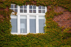 Vertical green ivy brick wall with window Royalty Free Stock Photos