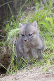 Vertical Grey Kit Fox. Young Grey Kit fox by den in vertical shot Stock Images