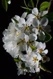 Vertical group of cherry tree Prunus Avium flowers on dark background Royalty Free Stock Photography