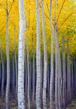 Aspen Trees Commited Vertical Growth Fall Color Royalty Free Stock Photo