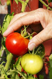 Vertical hand picking red tomato Royalty Free Stock Photos
