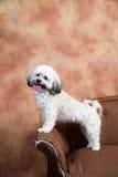 Vertical of Havanese dog standing on vintage sofa Stock Photo