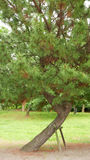 Vertical huge pine green tree with wooden stand Stock Photo