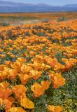 Vertical Image Bright Orange California Poppy Flowers Close Up stock photo