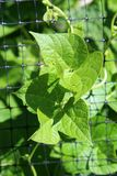 Chicken wire fencing with lush green leaves from vegetable garden growing between square openings. Vertical image of chicken wire fencing with lush healthy green stock image