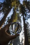 Vertical Image Giant Redwood Sequoia Trees in Glass Globe. Towering grove of Giant Sequoia Redwood trees captured in glass globe reflection held in fingers stock image