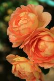 Vertical image of gorgeous peach colored roses in landscaped garden Royalty Free Stock Photo