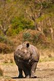 Rhinoceros vertical image Stock Photo
