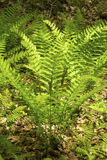 Vertical image of interrupted fern, Osmunda claytoniana, in Shen stock image