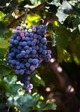 Home grown Spanish grapes, hanging from a vine stock image
