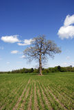 Lone Oak in Corn Field Royalty Free Stock Image