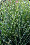 Vertical Image Of Beautiful Ornamental Grass In Garden Royalty Free Stock Photo