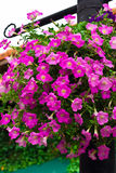 Vertical image of pink Petunia flowers Royalty Free Stock Image