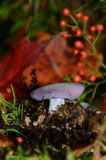 Blewit Mushrooms silhouetted against red leaf and red rose hips. Vertical image with purple Blewit Mushrooms in foreground, and red Autumn leaves and rose hips Royalty Free Stock Photo