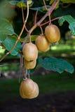 Bunch of kiwi fruit growing in New Zealand stock photos