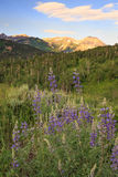 Vertical landscape with lupine wildflowers, Utah. Royalty Free Stock Photo