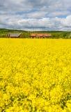 Vertical landscape of Swedish field of rape Stock Photo