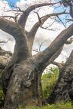 Vertical Leafless louco do close up da árvore Fotos de Stock