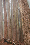 Vertical lines and trees in a foggy wood Stock Photo