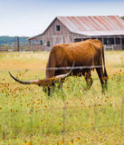 Vertical: Longhorn grazes in meadow of wild flowers. Scenes from a Texas hill country road in rural Texas with longhorn cow, fence, Mexican hat flowers, rustic Stock Photography