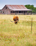 Vertical: Longhorn grazes in meadow of wild flowers. Scenes from a Texas hill country road in rural Texas with longhorn cow, fence, Mexican hat flowers, rustic Stock Photos