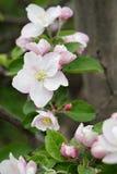 Vertical macro shot of blooming in spring  flowers. Of apple tree Royalty Free Stock Photos