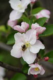 Vertical macro shot of blooming in spring  flowers of apple tree. And a bee Stock Image