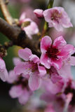 Vertical macro shot of blooming in spring flowers of peach tree. Vertical macro shot of blooming in spring flowers of pink peach tree Stock Image