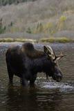 Vertical male moose Stock Photos