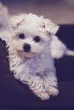 Vertical maltesa minúscula del perrito Imágenes de archivo libres de regalías