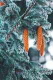 Vertical nature close up of covered by snow blue fir tree branch Stock Image
