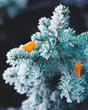 Vertical nature close up of covered by snow blue fir tree branch Royalty Free Stock Images