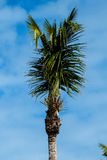 Vertical Palm Tree Top Royalty Free Stock Photo