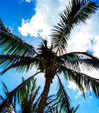 Vertical Palm Trees Royalty Free Stock Image