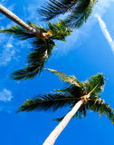 Vertical Palm Trees Stock Photo