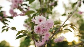Pink flowers of sakura in the spring garden. Closeup, shallow depth of field. stock video